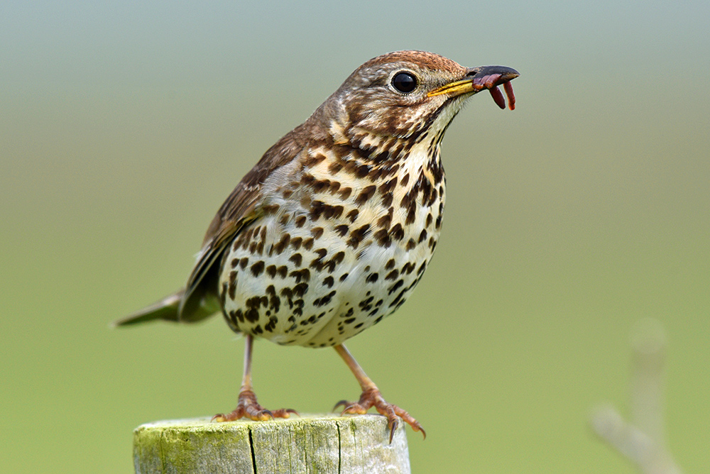 Picture of a Meadow Pipit with food in its beak sitting on a post