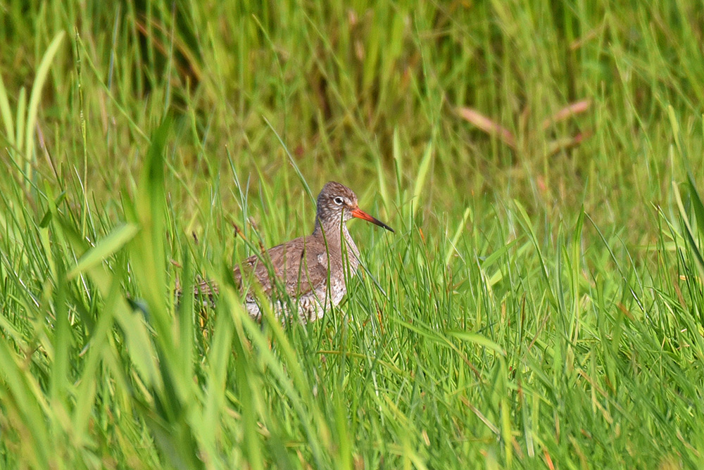 Picture of a Redshank bird sitting in high grass