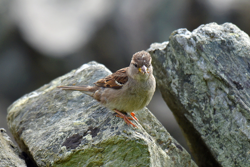 Picture of a Sparrow sitting on a wall, an insect in its beak