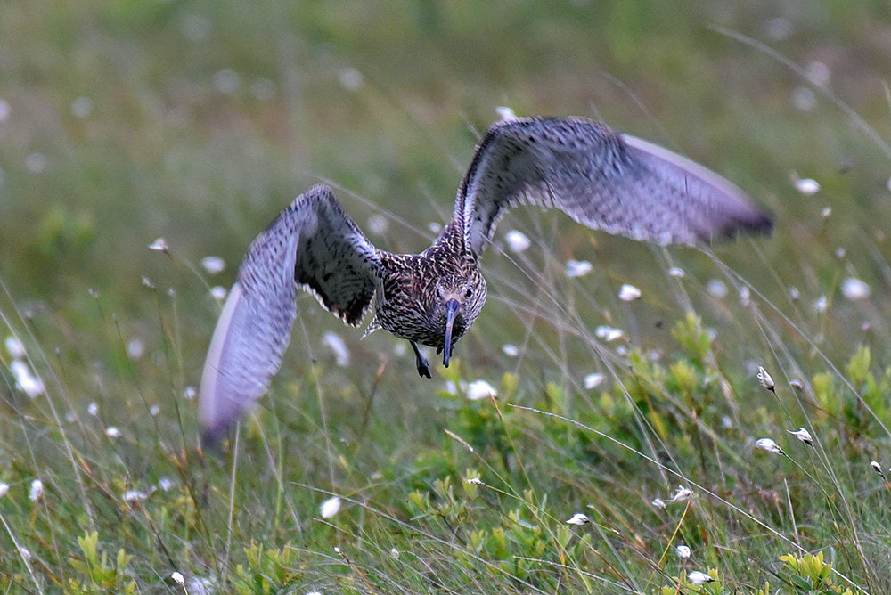 Picture of a curlew taking off from the ground