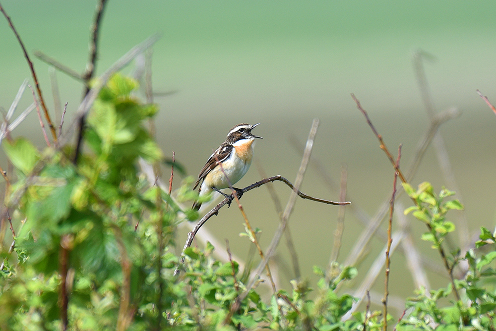 Picture of a Whinchat calling while sitting on a small branch