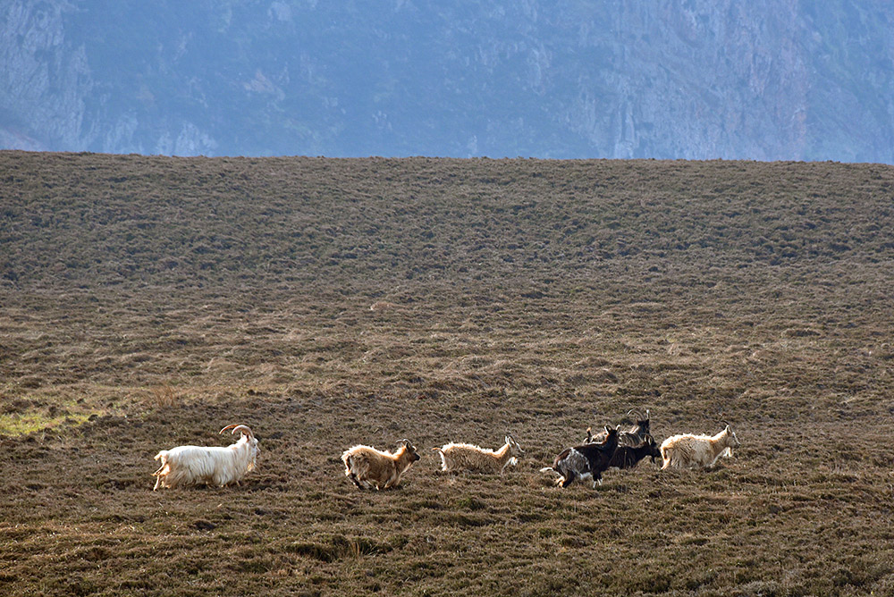 Picture of a herd of wild goats on a hillside