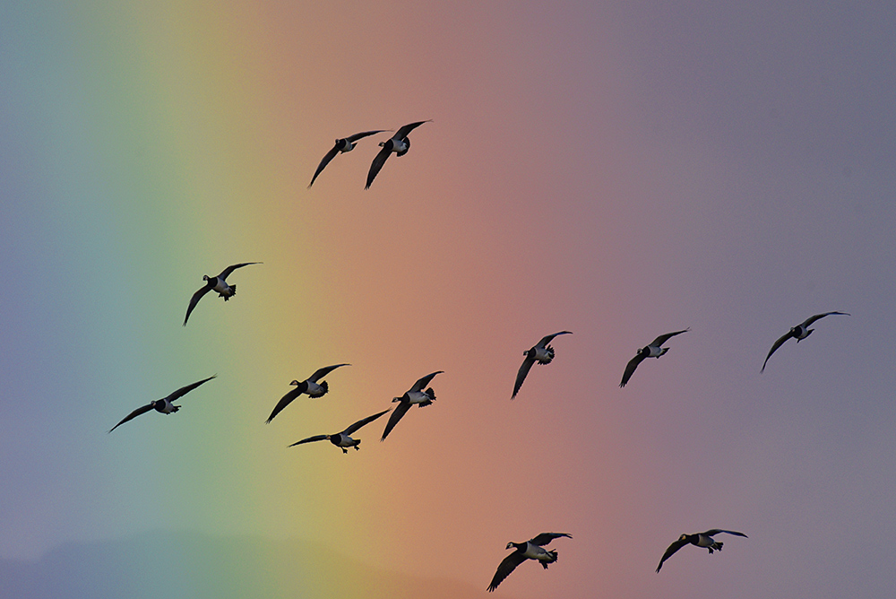 Picture of a few Barnacle Geese flying in front of a rainbow