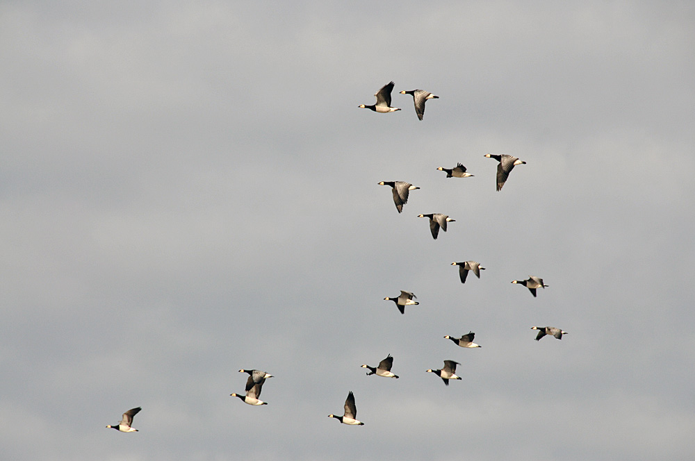 Picture of a small group of Barnacle Geese in flight