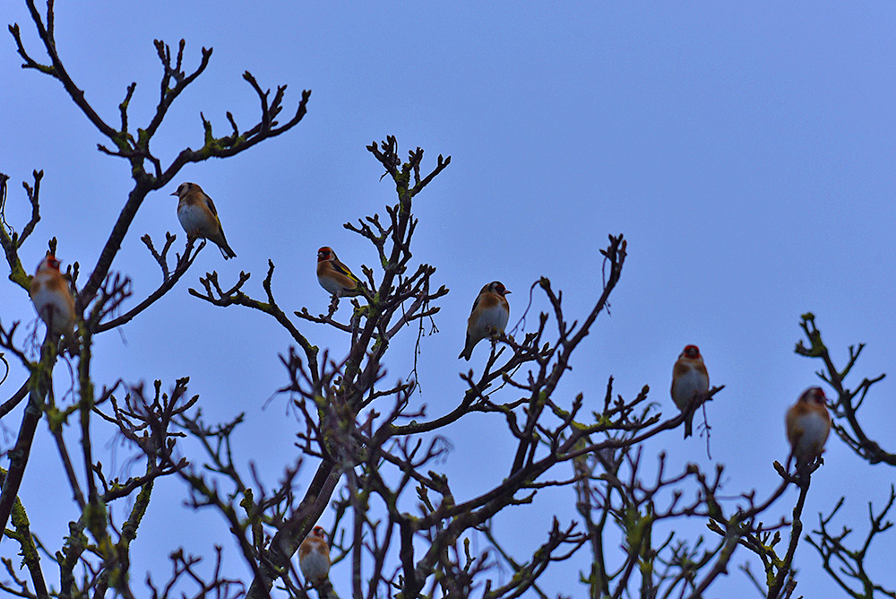 Picture of a number of Goldfinches sitting in the tree