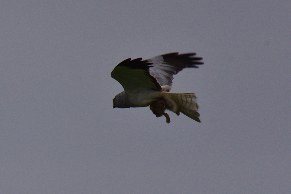 Picture of a male Hen Harrier carrying a large catch