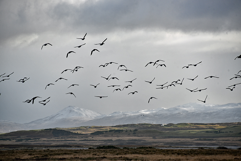 Picture of Barnacle Geese flying above snow capped hills