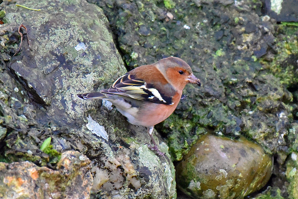 Picture of a Chaffinch on the side of an old stone wall