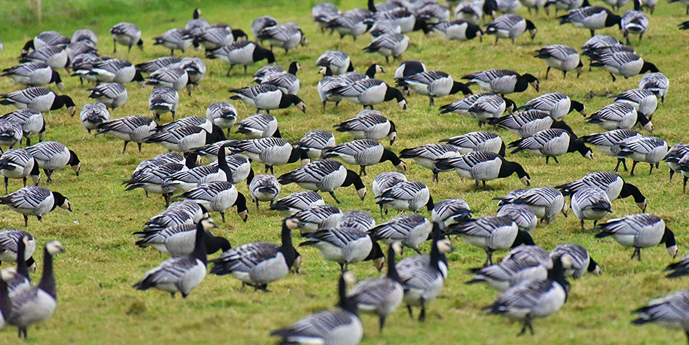 Picture of Barnacle Geese feeding in a field, all standing close together