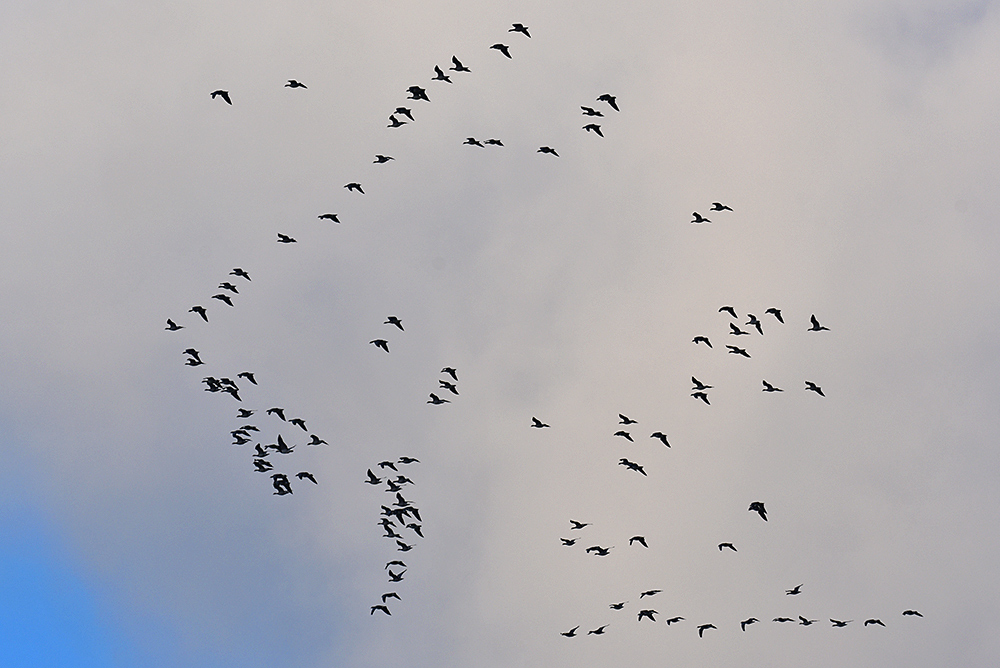 Picture of a flock of Barnacle Geese flying in a V formation