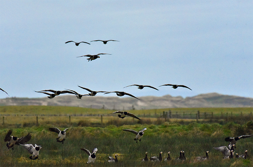 Picture of some Barnacle Geese landing at a wetland