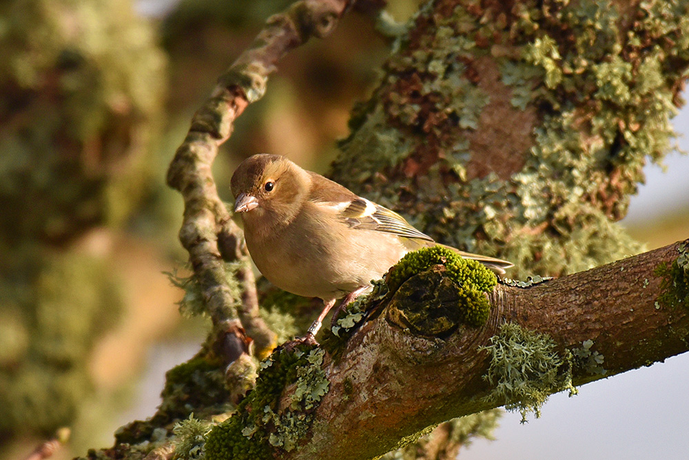 Picture of a female Chaffinch sitting on the branch of a mossy tree
