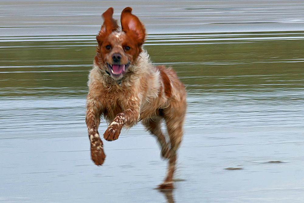 Picture of a dog running on a beach at full speed