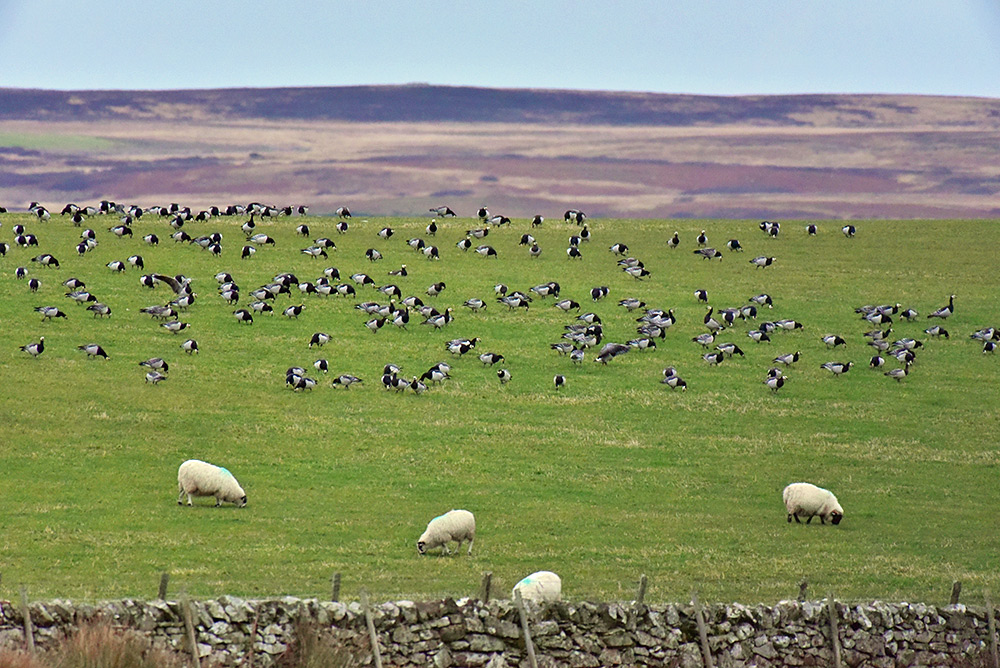 Picture of Barnacle Geese and sheep grazing in a field on a hillside