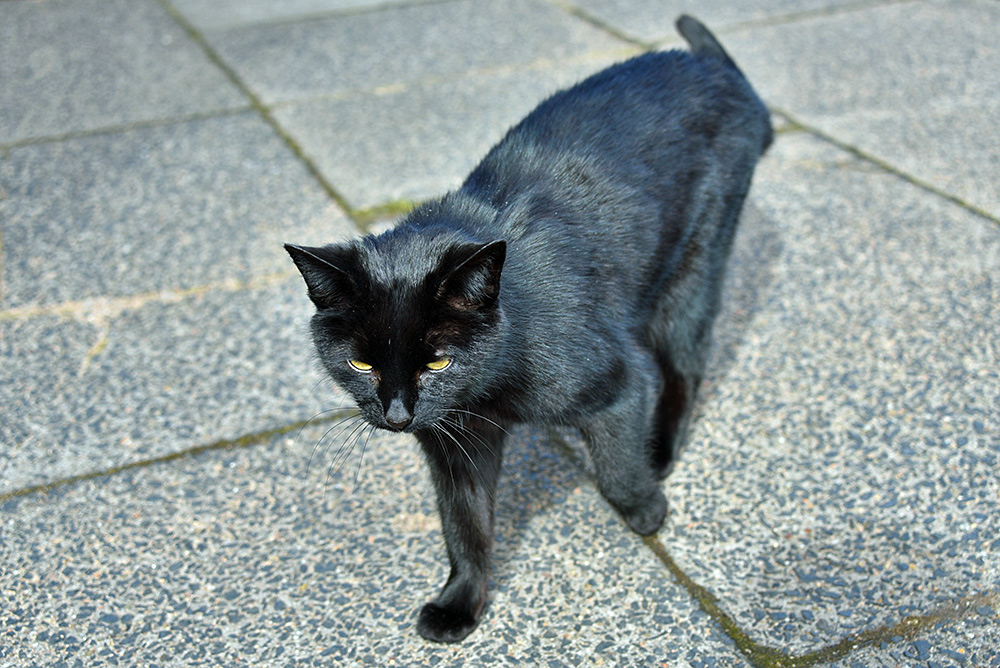 Picture of the black Caol Ila distillery cat, Sushi