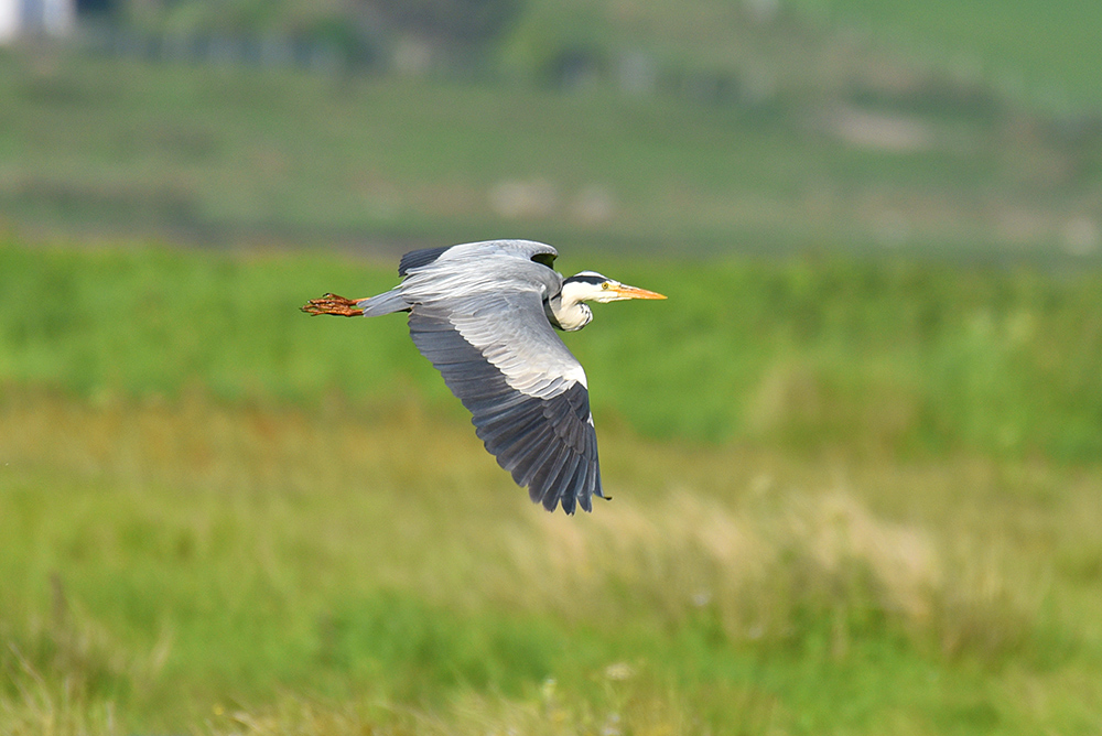 Picture of a Heron flying low over a wetland