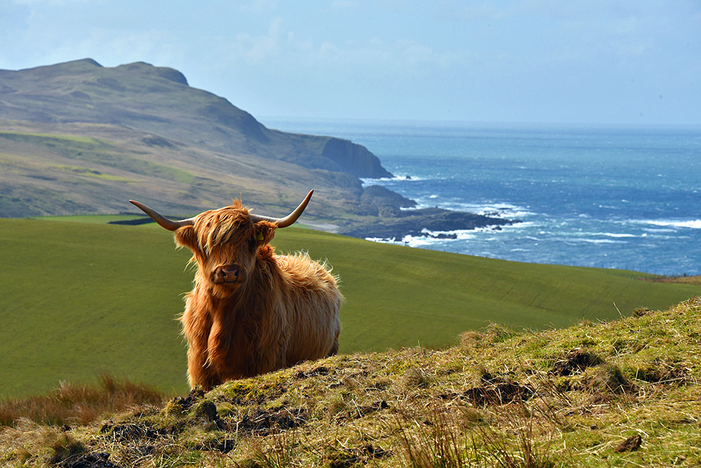 Picture of a Highland cattle on the side of a hill high above the sea, a coastline stretching into the distance