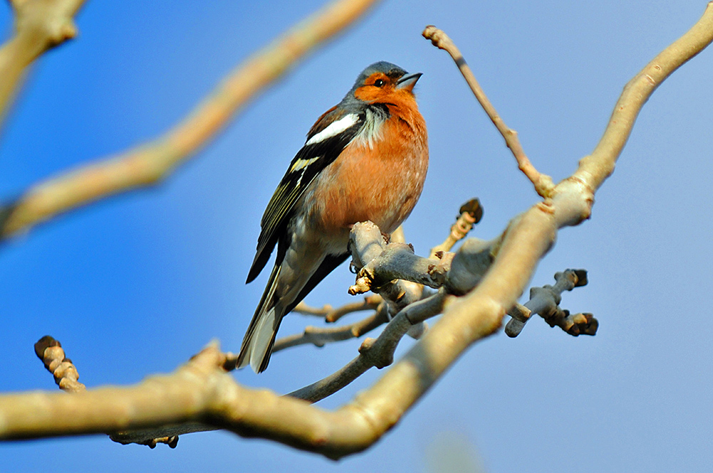 Picture of a male Chaffinch in a tree
