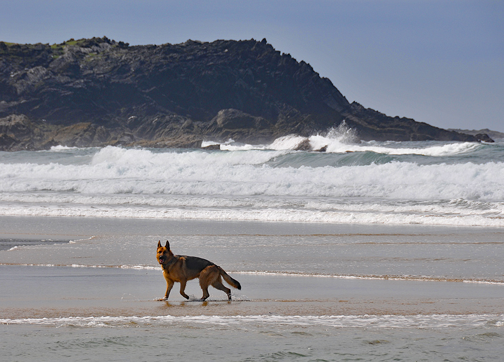 Picture of a German Shepherd dog on a beach