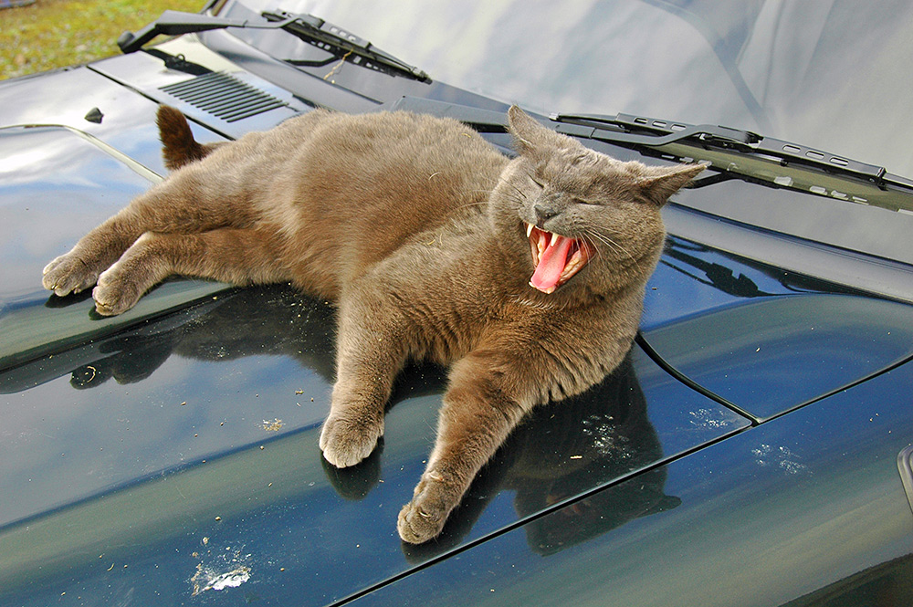 Picture of a yawning car on the bonnet of a car