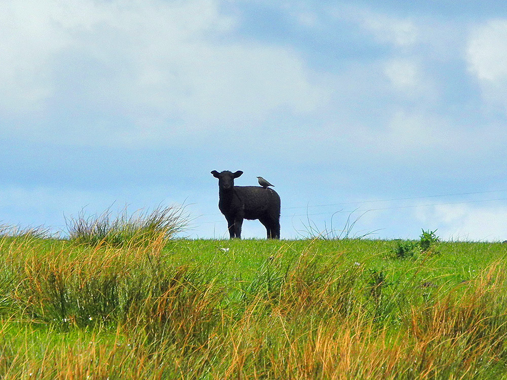 Picture of a black lamb with a bird sitting on it