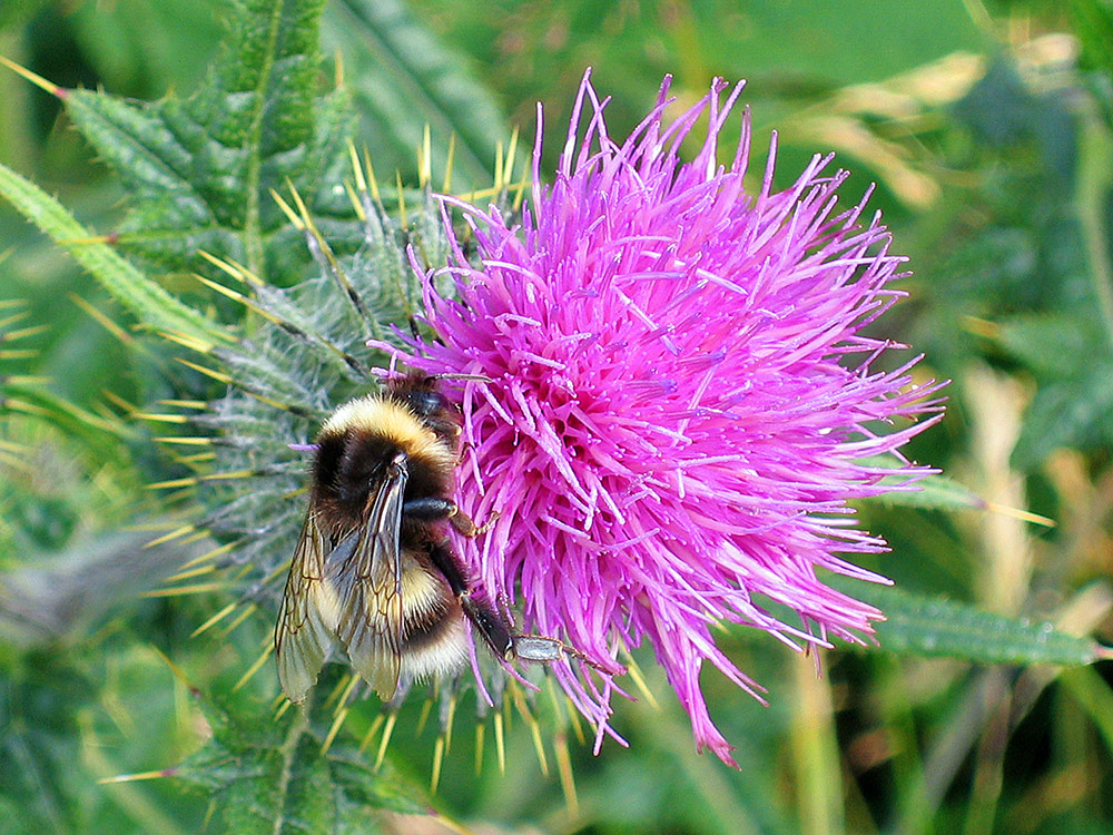 Picture of a Bumblebee on the flower of a Thistle