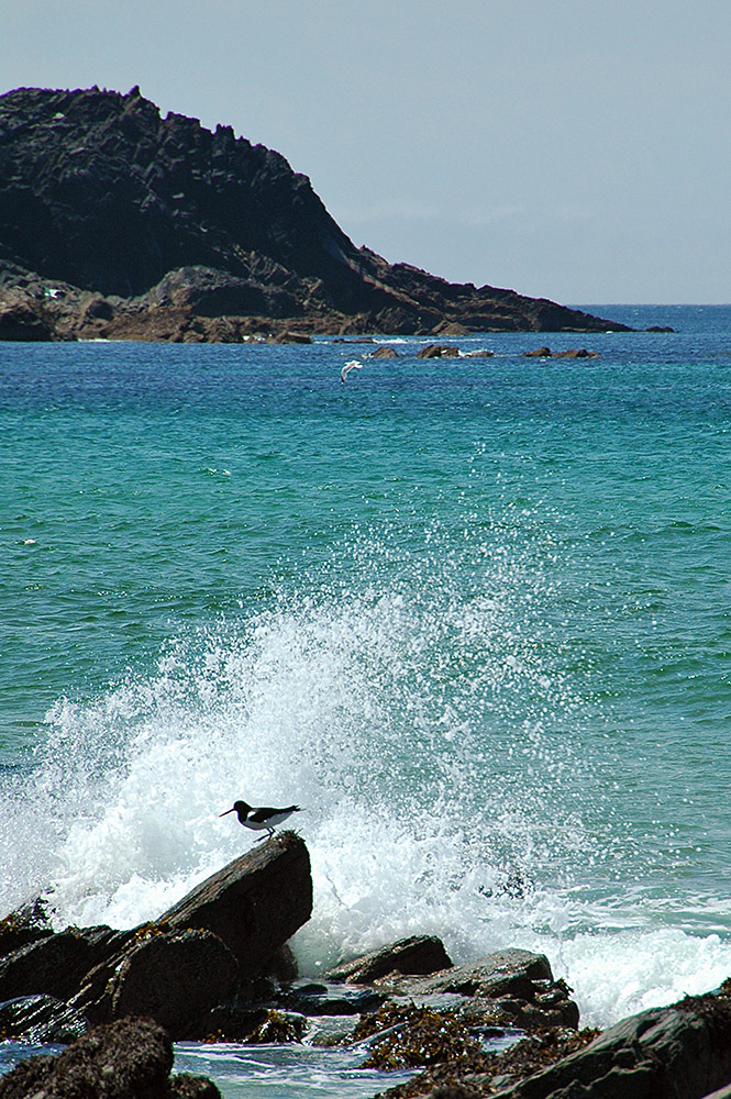 Picture of cliffs in a bay, an Oystercatcher in front of a wave splash