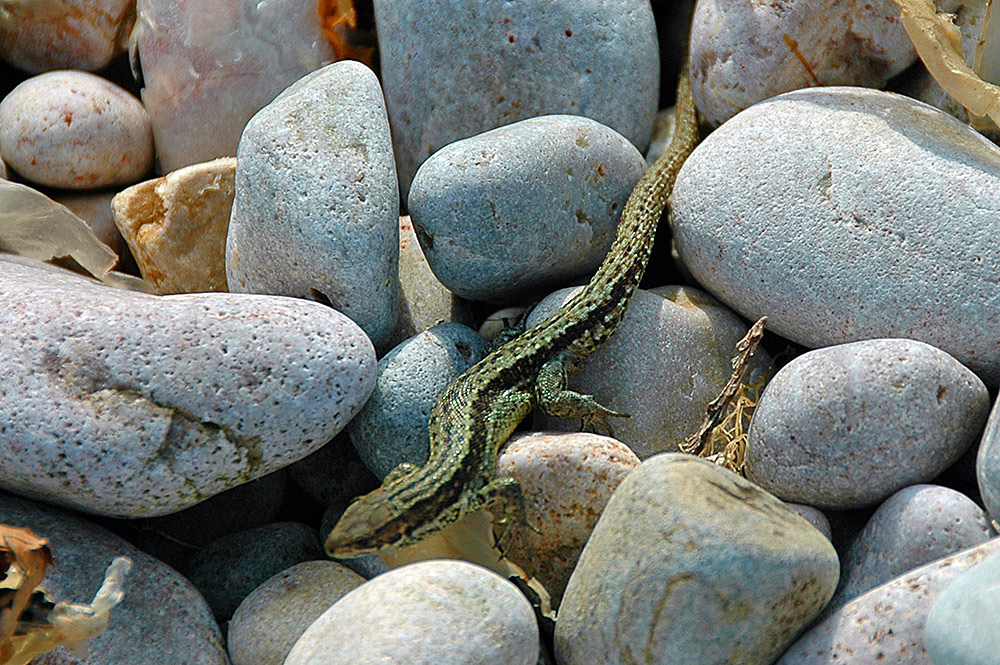Picture of a Lizard on some stones of various sizes