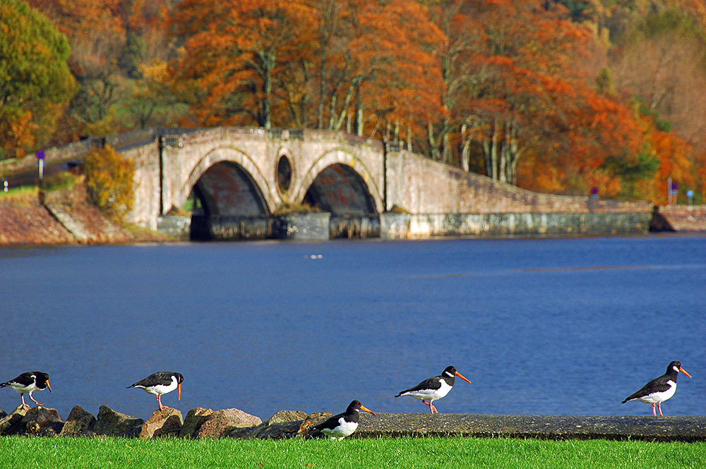 Picture of some Oystercatchers on a pier wall, an old bridge in the background