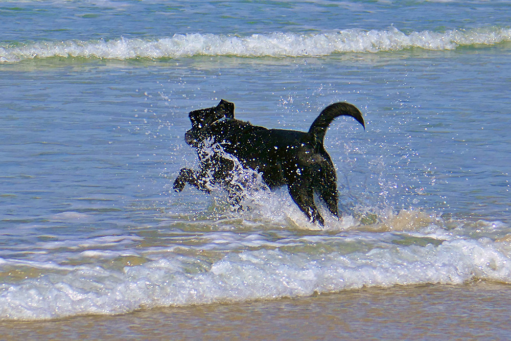Picture of a dog running into the water on a beach