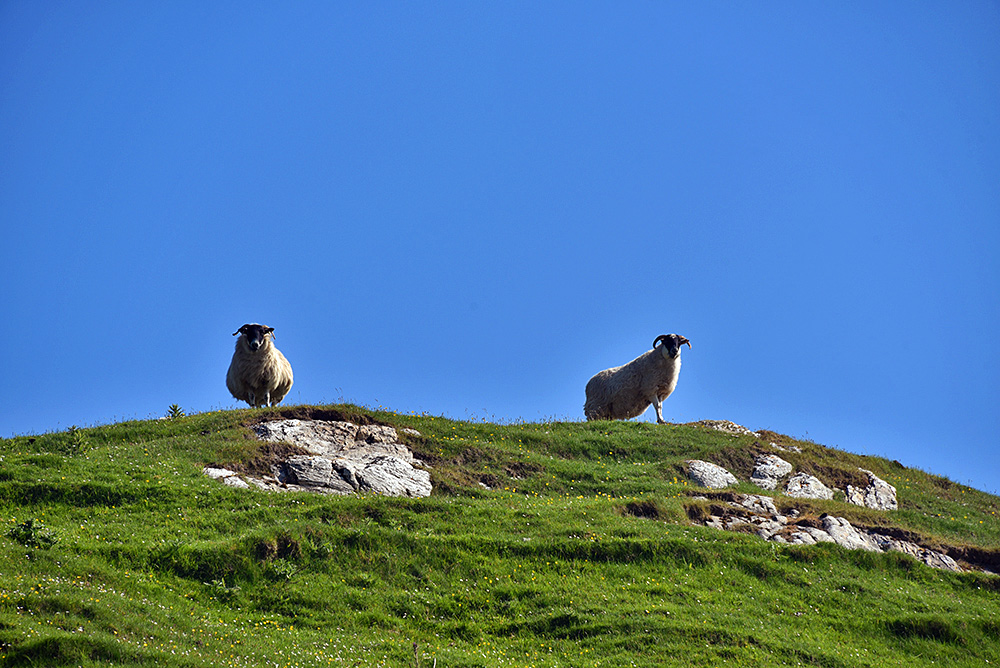 Picture of two sheep looking down from a hill