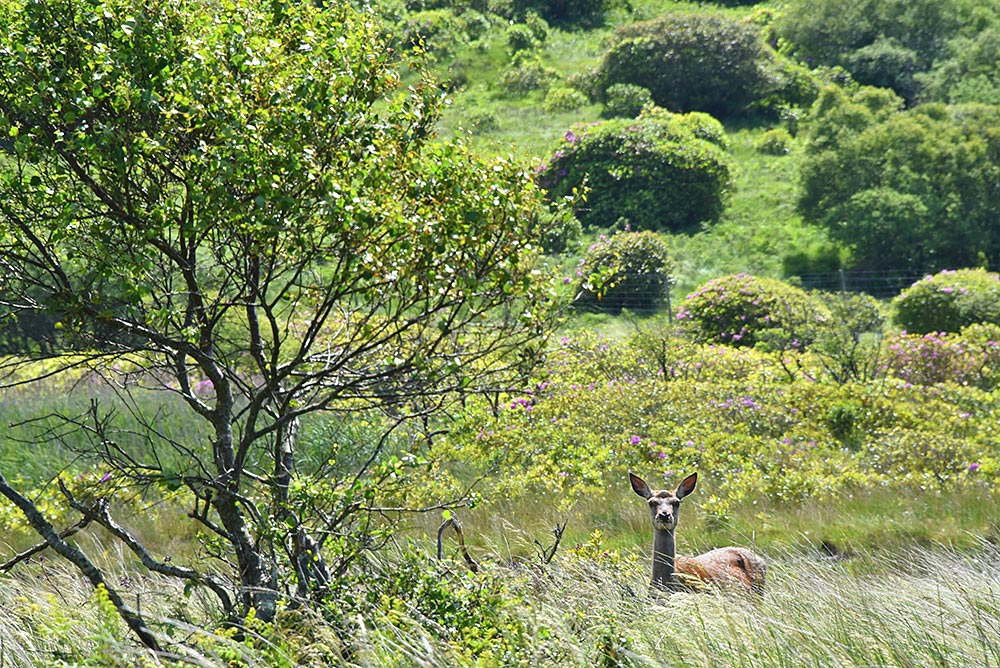 Picture of a deer standing next to a tree, watching the photographer
