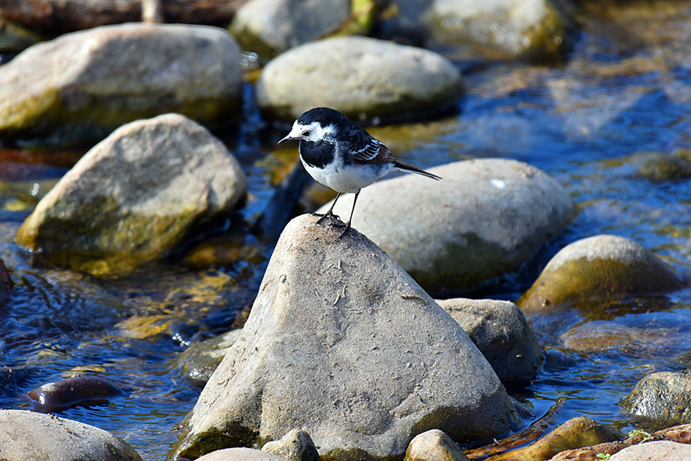 Picture of a Pied Wagtail sitting on a stone in a burn/stream