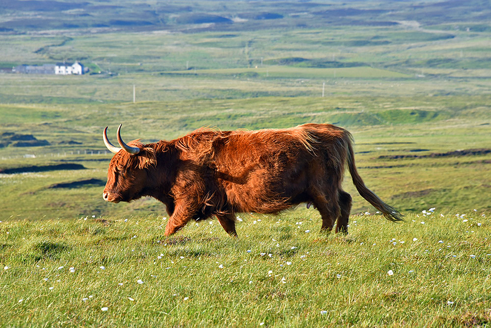 Picture of a large Highland cow in a wide open landscape in the mild evening light