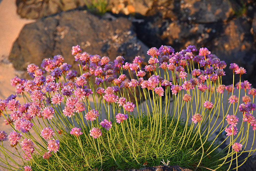Picture of Sea Pinks flowers in the evening light