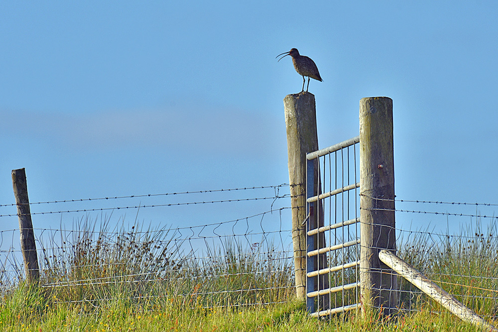 Picture of a Curlew on a gate post