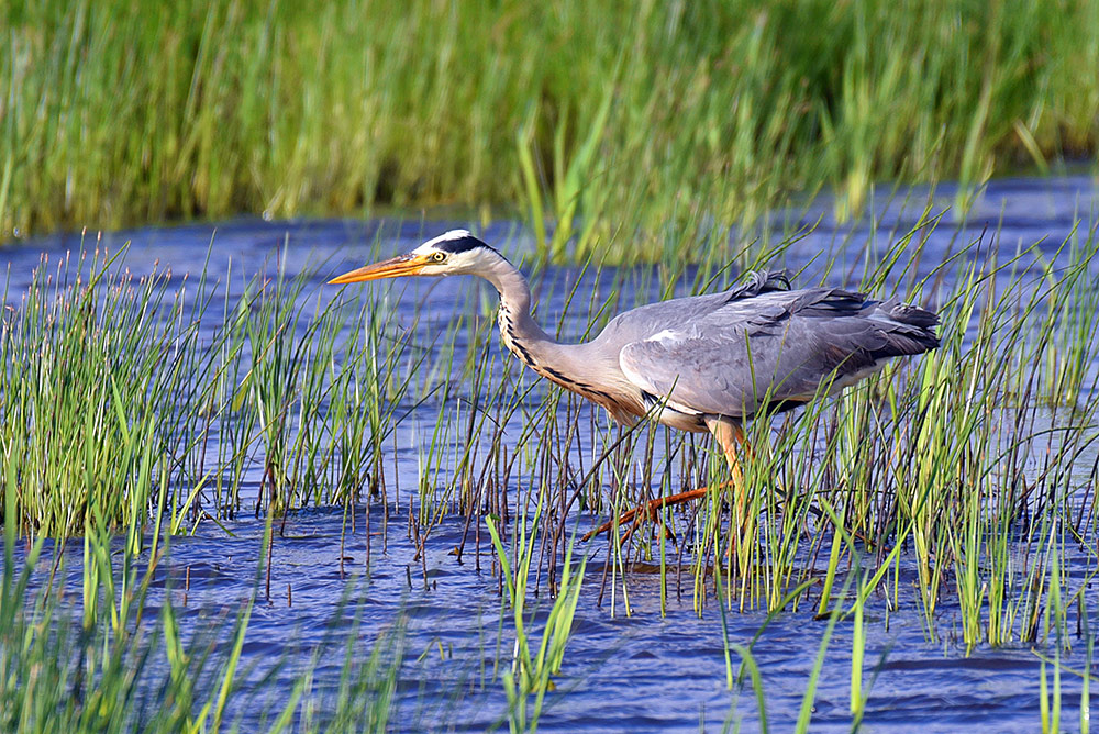 Picture of a Heron bird wading through low water and grass