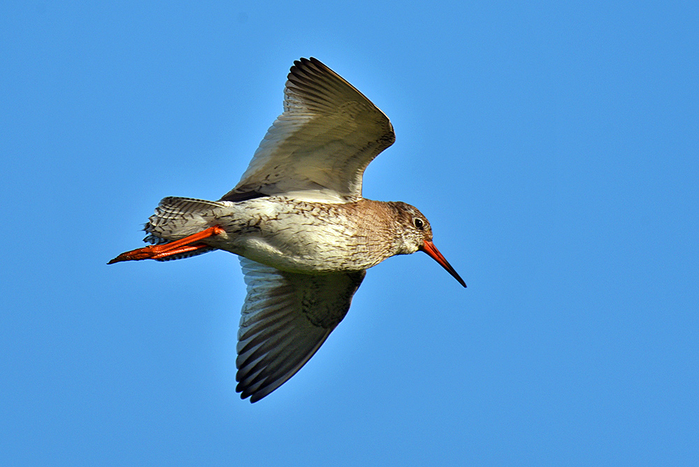 Picture of a Redshank in flight