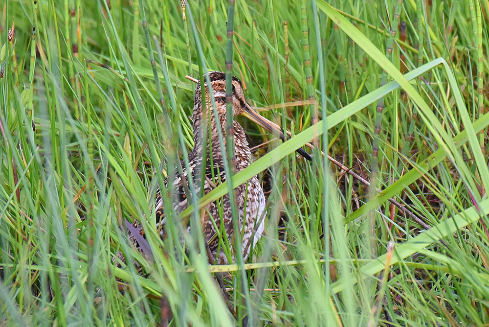 Picture of a Snipe hiding in some long grass