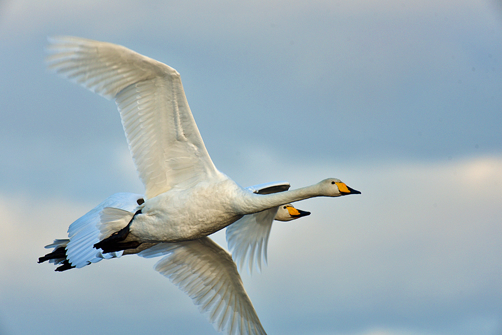 Picture of 2 Whooper Swans in flight