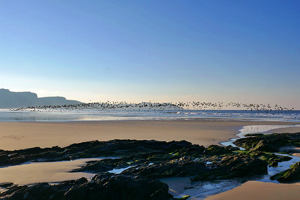 Picture of a large number of Barnacle Geese lifting off from a beach