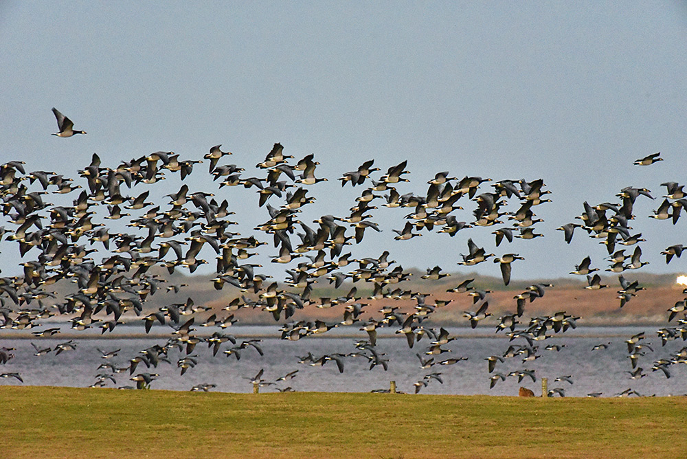 Picture of a large number of Barnacle Geese in flight at a sea loch