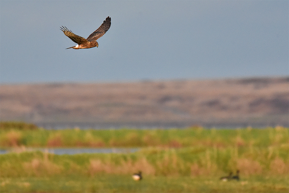 Picture of a Hen Harrier in flight over a wetland