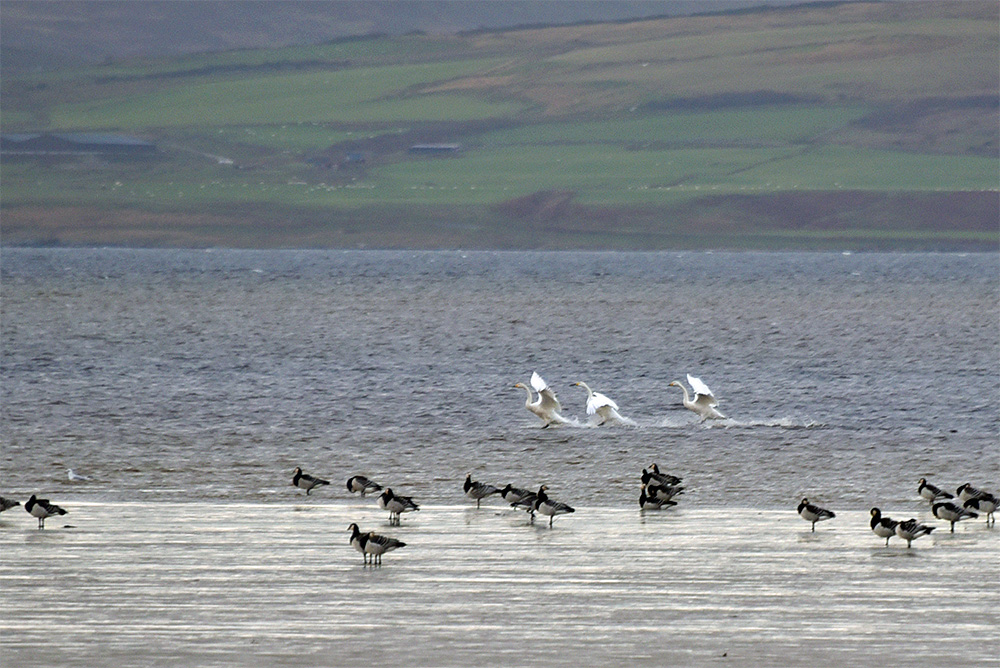 Picture of three Whooper Swans landing on a sea loch, some Barnacle Geese in the foreground