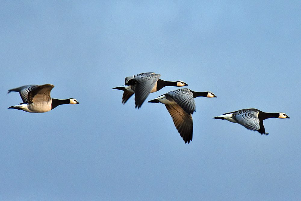 Picture of four Barnacle Geese in flight in some mild November afternoon light