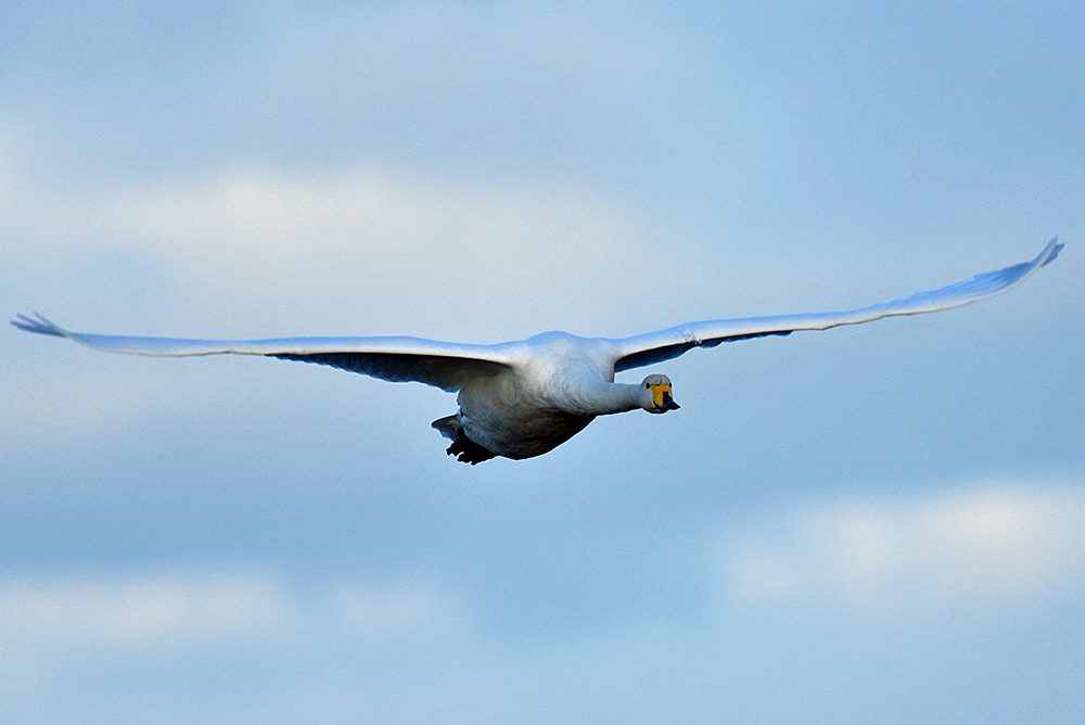 Picture of a Whooper Swan in flight, taken from the front