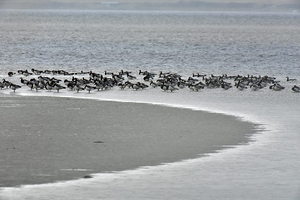 Picture of Barnacle Geese near the shore of a sea loch