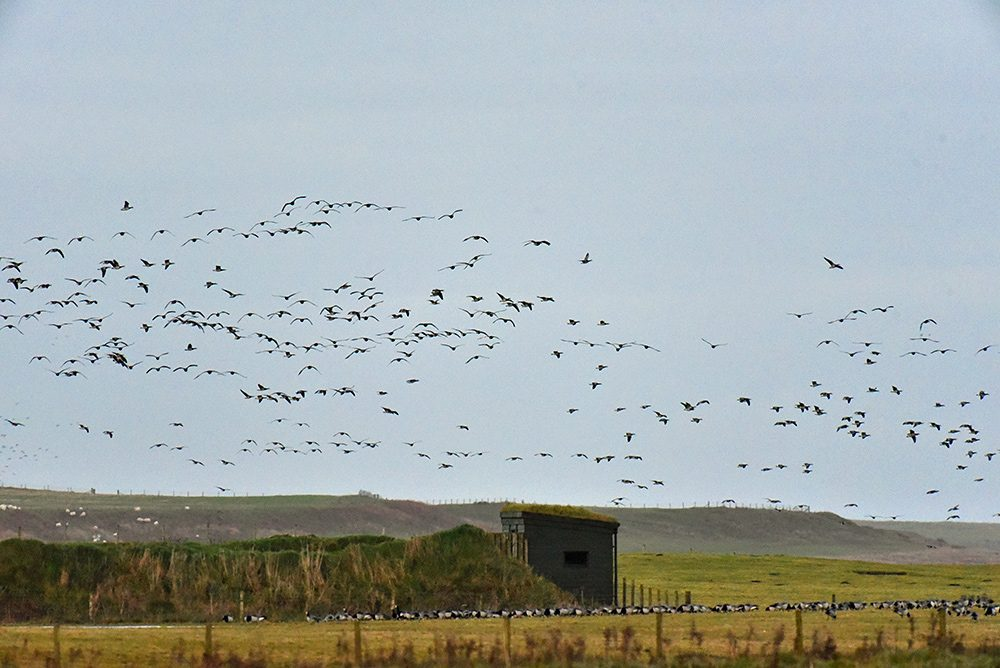 Picture of Barnacle Geese flying above and sitting near a bird hide