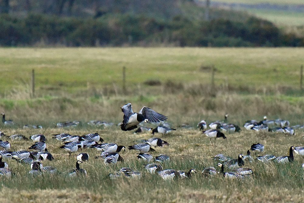 Picture of a Barnacle Goose coming in for landing among other Barnacle Geese feeding on the ground