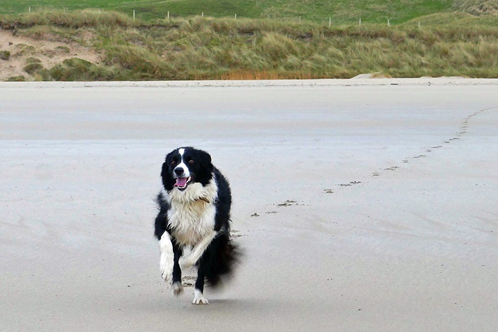 Picture of a Border Collie running across a beach at full speed